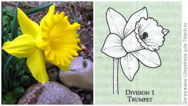 Нарцисс садовый сорт Dutch Master, цветок крупным планом, фото автора и цветок-эталон 1 группы, рисунок Encyclopedia of garden plants