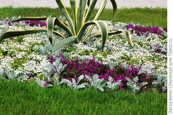 Цинерария приморская разделяет лобелию разных цветов на сектора, фото автора