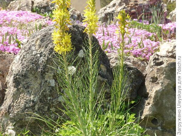 Цветет асфоделина желтая, фото автора