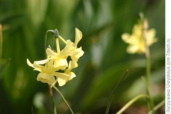 Нарцисс сорт Hawera