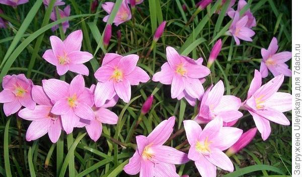 Зефирантес крупноцветковый. Фото сайта с davesgarden