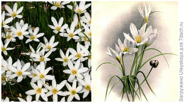 Зефирантес белый. Фото с сайта easytogrowbulbs.com. Его рисунок. Фото с сайта meemelink.com