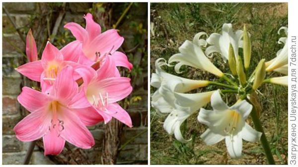 Амариллис красивый Cape Town. Фото с сайта deeproot.co.uk Амариллис красивый Hathor. Фото с сайта mainlyamaryllidsgarden.com