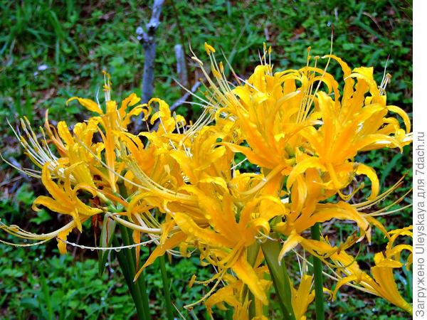 Ликорис золотистый. Фото с сайта google.ru
