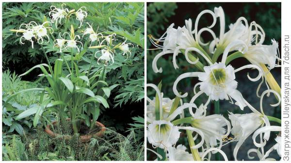 Гименокаллис нарядный, общий вид. Фото с сайта cjzonneveld.com . Цветки. Фото с сайта thompson-morgan.com