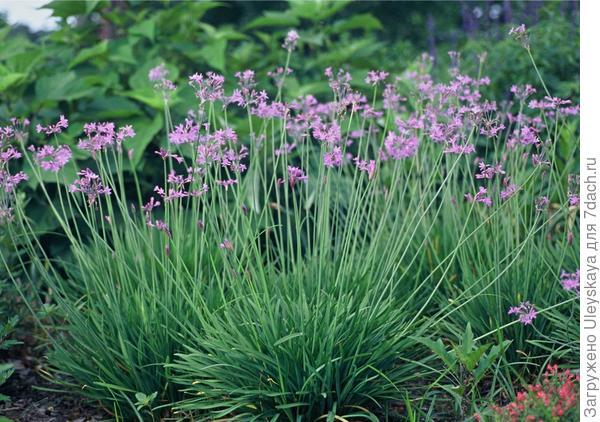 Тюльбагия фиолетовая. Фото с сайта plantmaster