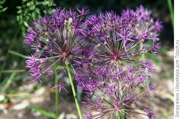 Цветет лук афлатунский, фото автора