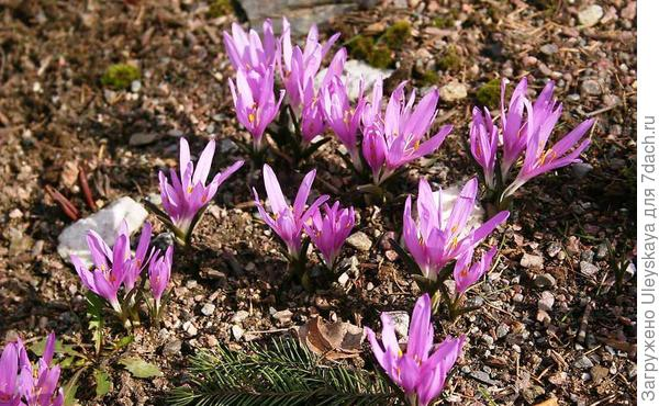 Бульбокодиум весенний. Фото с сайта henriettes-herb.com