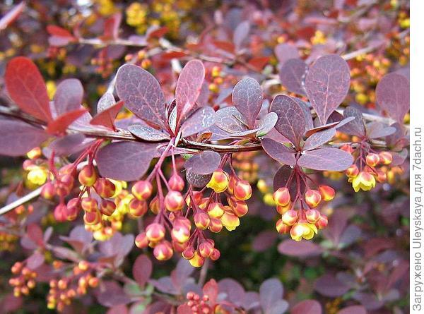 Барбарис оттавский Purpurea. Фото с сайта gardensonline.com.au