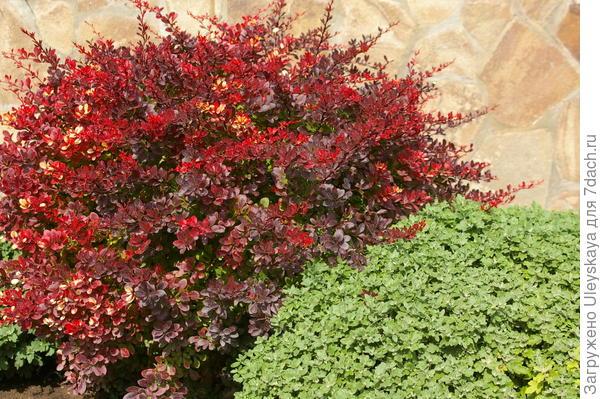 Краснолистный барбарис может стать участником сада в пурпурных тонах