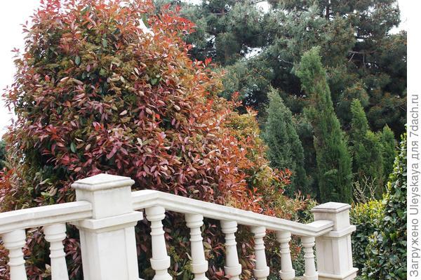 Фотиния Фразера Red Robin, фото автора