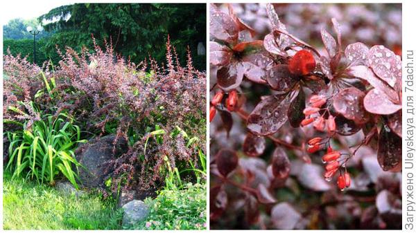 Барбарис обыкновенный Atropurpurea в композиции, фото автора. Он же, ветвь с плодами, крупным планом. Фото с сайта henriettes-herb.com