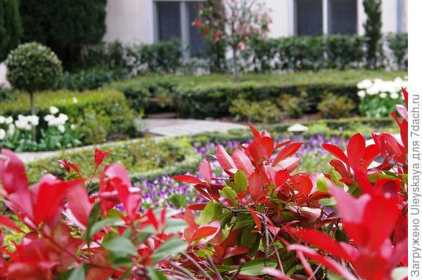 Сквозь яркие листья фотинии Фразера Red Robin, фото автора
