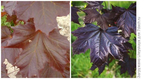 Клен остролистный Goldsworth Purple. Фото с сайта rvroger.co.uk. Клен остролистный Crimson King. Фото с сайта arboretum.ie