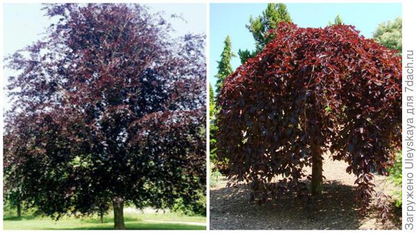 Бук лесной f. purpurea. Фото с сайта rhs.org.uk. Бук лесной Purpurea Pendula. Фото с сайта zelenakraina.com.ua