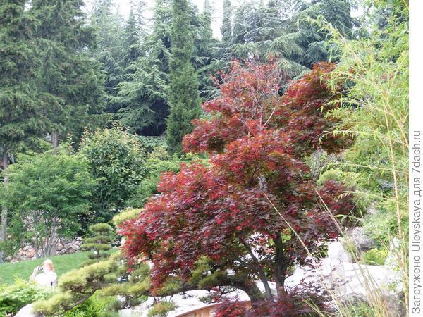 Краснолистный клен веерный в японском саду, фото автора