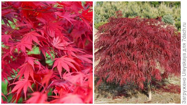 Клен веерный Chitoseyama. Фото с сайта gardenia.net. Клен веерный Crimson Queen. Фото с сайта google.ru.