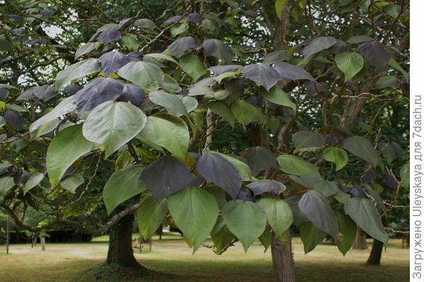 Краснолистная катальпа. Фото с сайта plantlust.com.