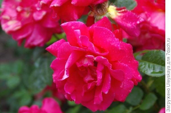 Полуплетистая роза Никитский Юбилей, фото автора