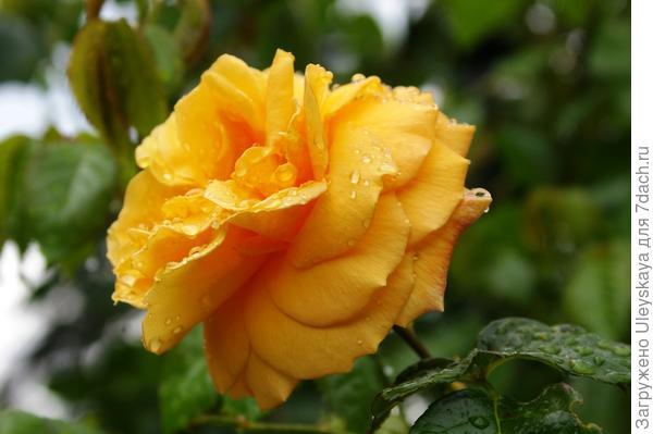 Полуплетистая роза Westfalenpark, фото автора