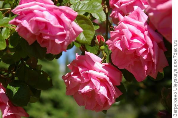 Полуплетистая роза сорт Весенняя Заря, фото автора