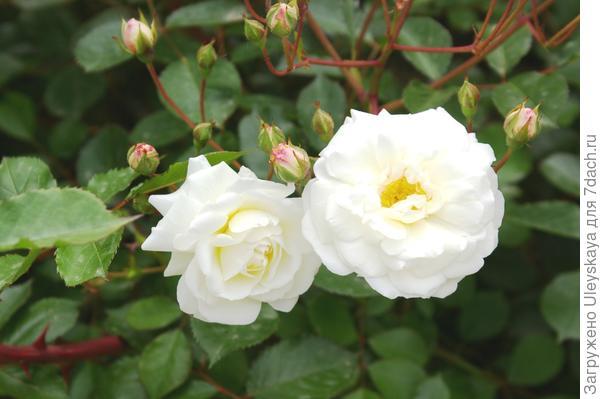 Полуплетистая роза Ave Maria, фото автора