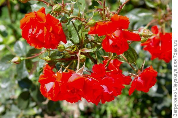 Полуплетистая роза Kordes Brilliant, фото автора