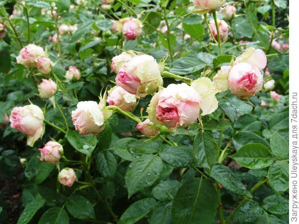 Полуплетистая роза Джим, фото автора