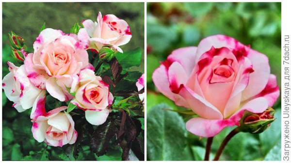Полуплетистая роза Rosenstad Freising, внешний вид. Фото с сайта rusroza.ru. Цветок крупным планом. Фото с сайта rosebook.ru