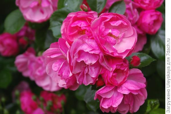 Цветет полуплетистая роза Angelica, фото автора