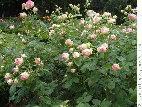 Полуплетистая роза сорт Джим без опор, фото автора