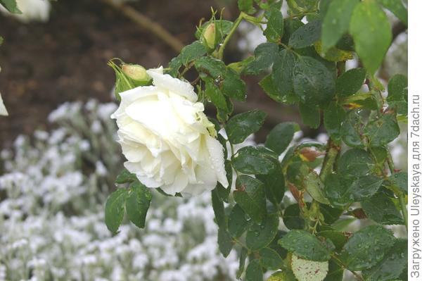 Полуплетистая роза Метелица на фоне цветения ясколки Биберштейна, фото автора