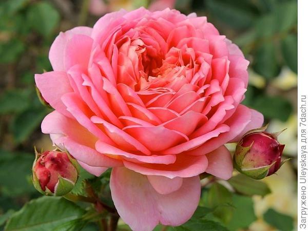 Полуплетистая роза Jubilee Celebration. Фото с сайта edelgarden.ru.