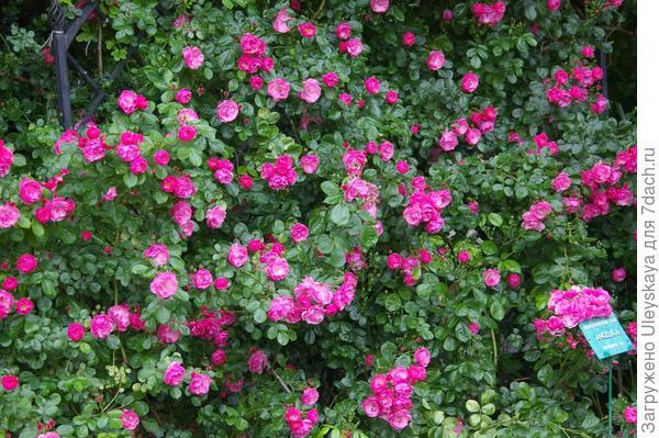 Полуплетистая роза Angelica на трельяже, фото автора