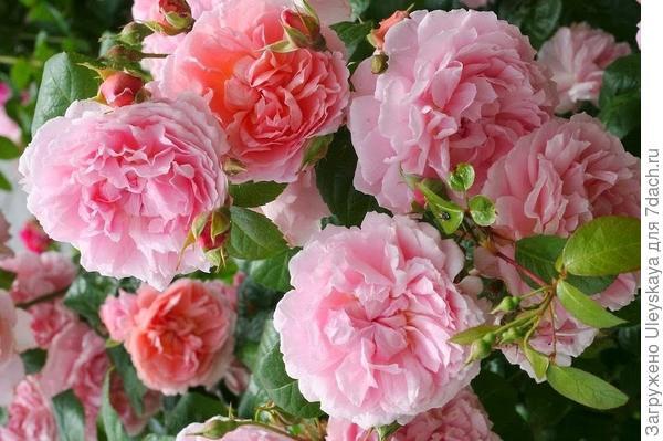 Полуплетистая роза Strawberry Hill. Фото с сайта mallardplace.org.uk