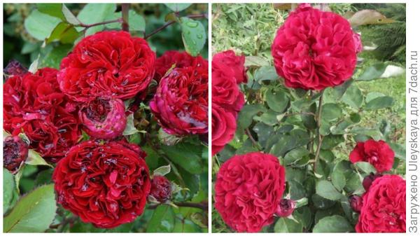 Полуплетистая роза Nadia Renaissance. Фото с сайта rosebook.ru. Она же, внешний вид. Фото с сайта marusin-sad.com.