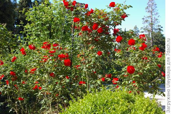 Полуплетистая роза Bischofsstadt Paderborn на опоре, фото автора
