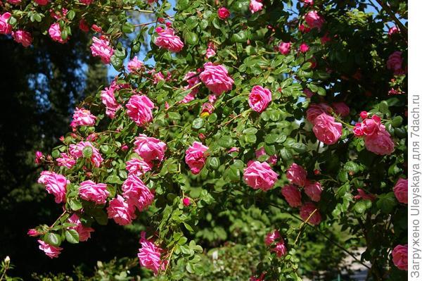 Полуплетистая роза Весенняя Заря, фото автора