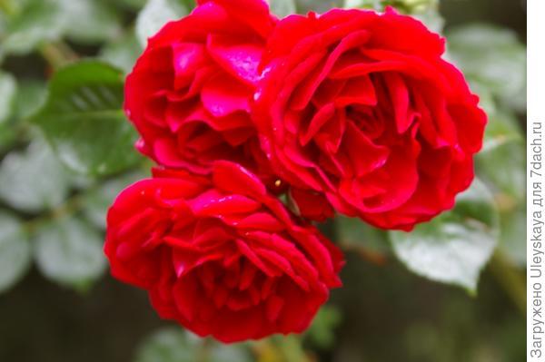 Полуплетистая роза сорт Ялтинские Звезды, фото автора
