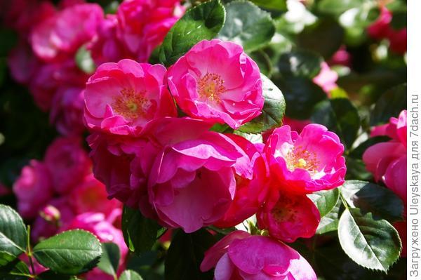 Полуплетистая роза Angelica, фото автора
