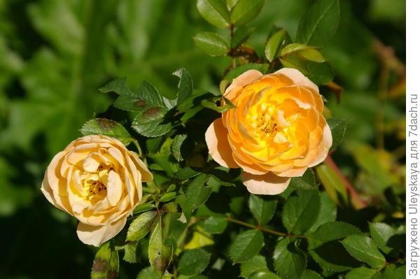 Роза садовая сорт Amber Queen в октябре, фото автора