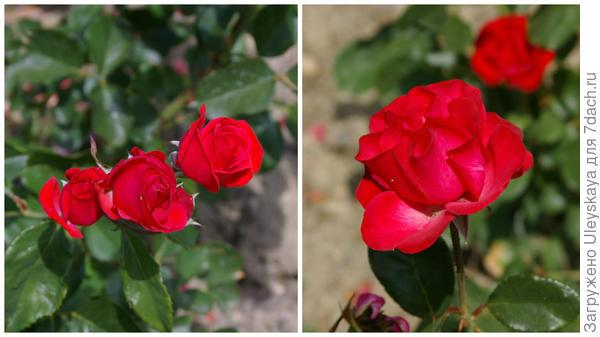 Роза садовая Prominent