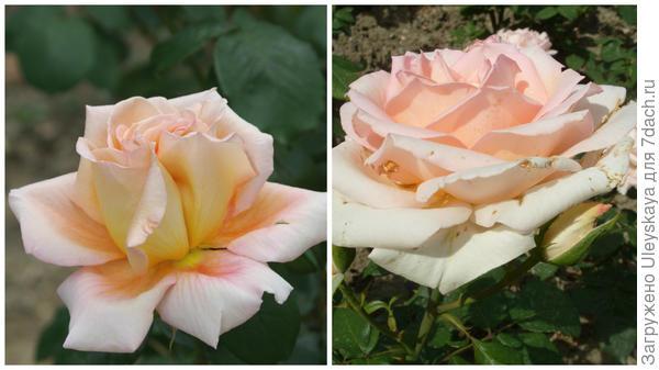 Роза садовая Марина Стевен, фото автора