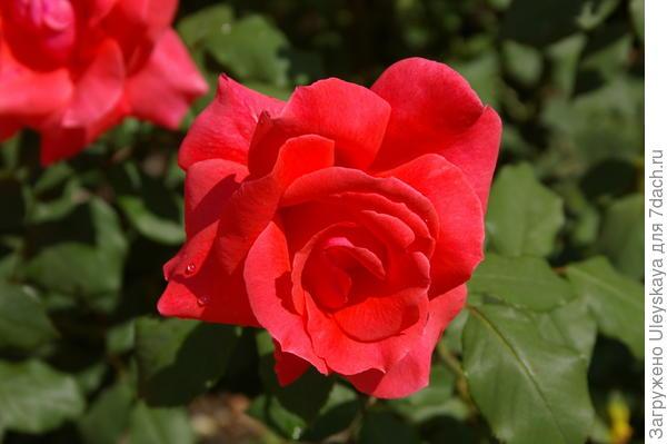 Роза садовая Коралловый Сюрприз, фото автора