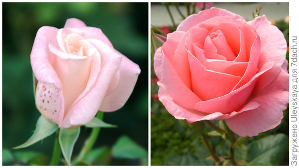 Роза садовая Queen Elizabeth, фото автора