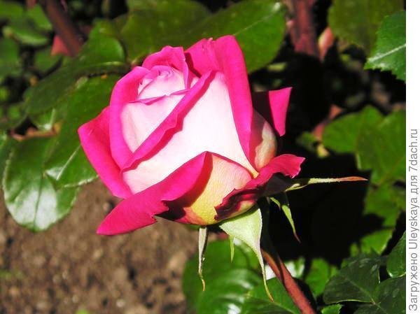 Роза садовая Дина, фото З.К. Клименко