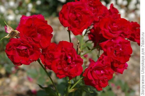 Роскошная роза-флорибунда сорт Nina Weibull, фото автора