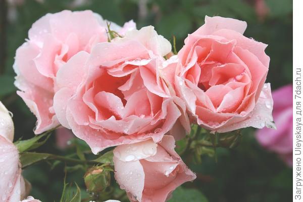 Роза садовая сорт Профессор Виктор Иванов, фото автора