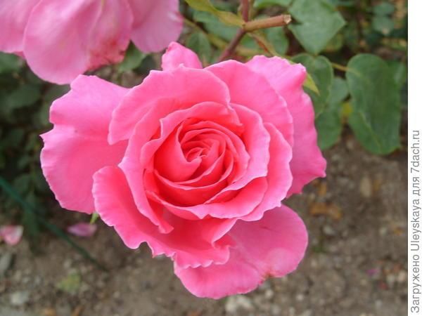 Роза садовая Феодосийская Красавица, фото автора