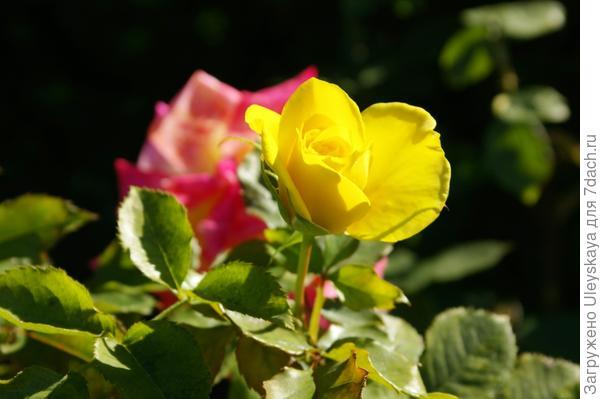 Роза садовая сорт Friesia в октябре, фото автора